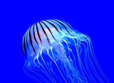 piqûres de méduses